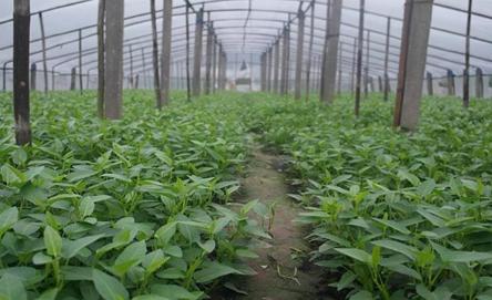 空心菜的种植方法和时间