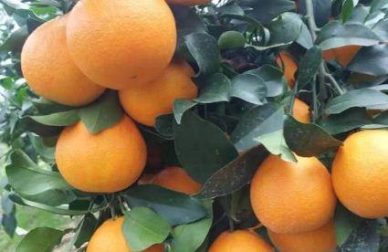 红美人柑橘苗价格多少钱一棵?如何种植?
